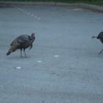 Bush Turkeys