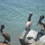 Pelicans at Avila Beach